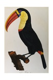 Print of a Toucan Giclee Print