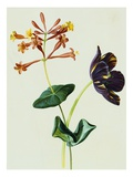 Nasturtiums and Mint, Circa 1800 Giclee Print by German School