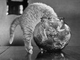 Kittens in a Fish Bowl Photographic Print