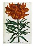 Botanical Print Florilegium Renovatum et Auctum Giclee Print