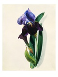 Flag Iris Giclee Print by Thomas Holland