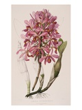 Lithograph of Orchids: Laelia Superbiens Giclee Print by James Bateman