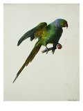 A Ring-Necked Parakeet Giclee Print by Karl Franz Gruber