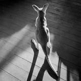 Kleines Känguru und Schatten Fotografie-Druck von Horace Bristol