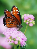 Queen Butterfly on a Pink Flower Photographic Print by Darrell Gulin