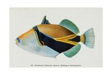 Postcard of Balistapus Rectangularis Fish Giclee Print