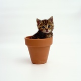 Kitten in Plant Pot Photographic Print by Pat Doyle