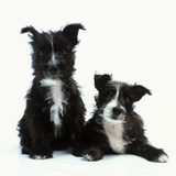 Two Terrier Puppies Photographic Print by Pat Doyle