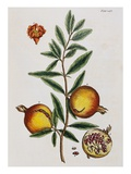 Pomegranate Giclee Print by Elizabeth Blackwell