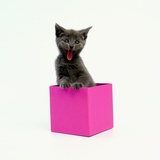 Yawning Kitten in Purple Box Photographic Print by Pat Doyle