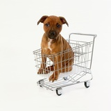 Puppy Sitting in Miniature Shopping Cart Photographic Print by Pat Doyle