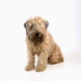 Wheaten Terrier Photographic Print by Pat Doyle