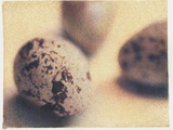 Quail Eggs Photographic Print by Jennifer Kennard