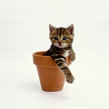 Kitten Sitting in Plant Pot Photographic Print by Pat Doyle