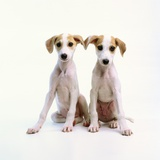 Whippet Puppies Photographic Print by Pat Doyle