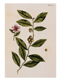 Green Tea Giclee Print by Elizabeth Blackwell