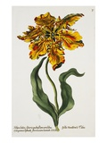 Tulipa Lutea, Lithograph Giclee Print by Johann Wilhelm Weinmann