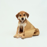 Puppy Sitting in Shopping Bag Photographic Print by Pat Doyle