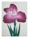 Kyo-Kanoko Book of a Dark Pink Iris Giclee Print by Stapleton Collection