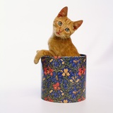 Kitten Sitting in Flowered Cookie Tin Photographic Print by Pat Doyle