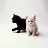 Black Kitten and White Kitten Photographic Print by Pat Doyle