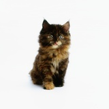 Ragdoll Kitten Photographic Print by Pat Doyle