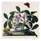 Helleborus Niger, Rose and Butterfly Lithograph Giclee Print by Georg Dionysius Ehret