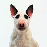 English Bull Terrier Photographic Print by Pat Doyle