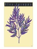 Olea Europaea Giclee Print by  Steve Collier Studio
