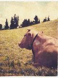 Alpine Cow 2 Photographic Print by Jennifer Kennard