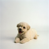 Bichon Frise Puppy Photographic Print by Pat Doyle