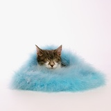 Kitten Sleeping in Feather Boa Photographic Print by Pat Doyle
