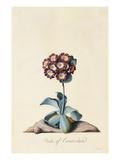 Botanical Print of Garden Auricula Giclee Print by Johann Wilhelm Weinmann
