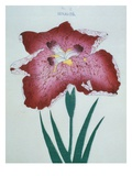 Senjo-To Book of a Red Iris Giclee Print by  Stapleton Collection