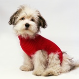 Bichon Havanaise Wearing Red Sweater Photographic Print by Pat Doyle