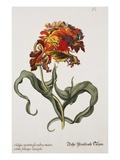 Tulipa Monstrosa Rubra Maior, Lithograph Premium Giclee Print by Johann Wilhelm Weinmann