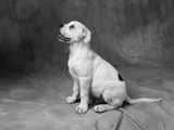 Profile of Bulldog Puppy Photographic Print by Lawrence Manning