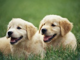 Golden Retrievers Resting on Grass Photographic Print by Stan Fellerman