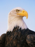 Bald Eagle Photographic Print by Chase Swift