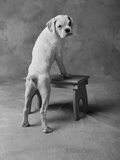 Dog Climbing on Bench Photographic Print by Lawrence Manning