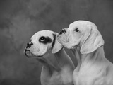 Dogs Looking to Distance Photographic Print by Lawrence Manning