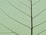 Bo Tree Leaf Photographic Print by Kevin Schafer