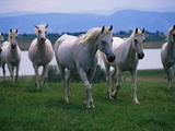 Arabian Horses Walking in Pasture Photographic Print by Chase Swift