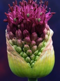 Alium Bud Photographic Print by Andy Small