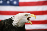 Bald Eagle Squawking with American Flag Fotodruck von W. Perry Conway