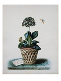 An Auricula in a Pot Giclee Print by Augusta Withers