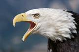 Portrait of a Bald Eagle Photographic Print by W. Perry Conway