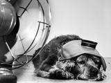 Cocker Spaniel Keeping Cool with Electric Fan Photographic Print by  Bettmann