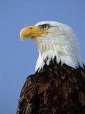 Profile of a Bald Eagle Photographic Print by Joe McDonald
