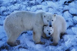 Polar Bear with Cub Photographic Print by Darrell Gulin